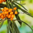 Branches of sea buckthorn on bright background — Stock Photo