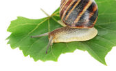 Snail on leaf isolated on white — Stock Photo