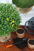 Chrysanthemum bush and grass in pots on wooden table close up — Stock Photo