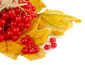 Red berries of viburnum on yellow leaves isolated on white — Stock Photo