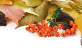 Beautiful autumn leaves with berries isolated on white — Stock Photo
