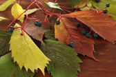 Beautiful autumn leaves with berries on wooden background — Stock Photo