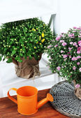 Chrysanthemum bushes in pots and watering can on wooden table on white background — Stock Photo
