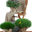 Chrysanthemum bushes and grass in pots with chair isolated on white — Stock Photo