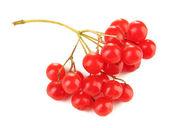 Czerwone jagody kalina na białym tle — Zdjęcie stockowe