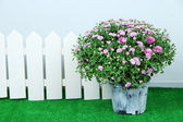 Chrysanthemum bush in pot and fence on grass on grey background — Foto de Stock