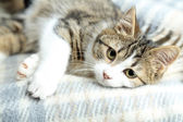 Cat on plaid close-up — Stock Photo