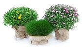 Chrysanthemen büsche und gras in töpfen, die isoliert auf weiss — Stockfoto