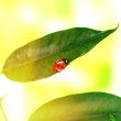 Stock Photo: Beautiful ladybird on green plant
