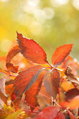 Red leaves on bright background — Stock Photo
