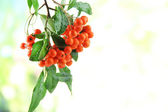 Pyracantha Firethorn orange berries with green leaves, on bright background — Stock Photo