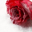 Red rose in ice on snow background — Lizenzfreies Foto