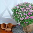 Chrysanthemum bush in pot on wooden table on white background — Stock Photo