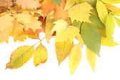 Bright autumn leafs isolated on white — Stok fotoğraf