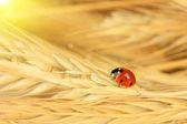 Krásná beruška na pšeničné klasy, zblízka — Stock fotografie