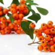 Stock Photo: PyracanthFirethorn orange berries with green leaves, isolated on white