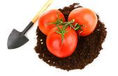 Tomaten auf boden — Stockfoto