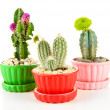 Cactuses in flowerpots with flowers, isolated on white — Stock Photo #35011377