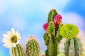 Cactuses with flowers, on blue sky background — Stock Photo