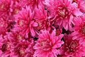 Bouquet of pink autumn chrysanthemum, close up — Foto de Stock