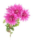 Crisantemo otoño rosa — Foto de Stock