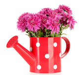 Bouquet of pink autumn chrysanthemum in watering can isolated on white — Stock Photo