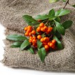 Stock Photo: PyracanthFirethorn orange berries with green leaves, on sackcloth, isolated on white