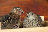Young quails in wooden box on straw on wooden background — Stok fotoğraf