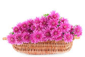 Bouquet of pink autumn chrysanthemum in basket isolated on white — Stock Photo
