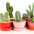 Cactuses in flowerpots, isolated on white — Stock Photo