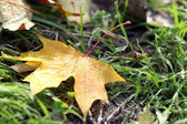 Maple leaves in park, close-up — Stockfoto