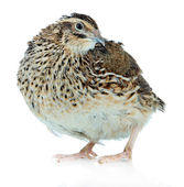 Young quail isolated on white — Stock Photo