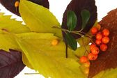 Beautiful autumn leaves with berries close up — Stock Photo
