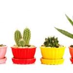 Cactuses in flowerpots — Stock Photo
