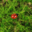 Beautiful ladybird on green moss, close up — Stock Photo