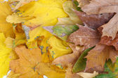Bright autumn leafs close-up background — Stock Photo
