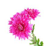 Rosa höstens krysantemum isolerad på vit — Stockfoto