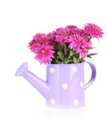 Bouquet of pink autumn chrysanthemum in watering can isolated on white — Foto de Stock