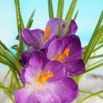 Beautiful purple crocuses on snow, on blue background — Stock Photo