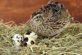 Young quail with eggs on straw on wooden background — Stock Photo