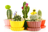 Cactuses in flowerpots with flowers, isolated on white — Stock Photo