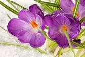 Beautiful purple crocuses on snow, close up — Stock Photo
