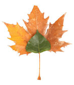 Young green and dry autumn leaf isolated on white — Stock Photo