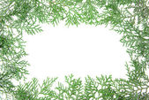 Thuja branches on white background — Stock Photo