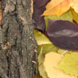 Beautiful autumn leaves with bark close up — Стоковая фотография