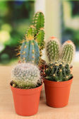 Collection of cactuses, on windowsill — Stock Photo