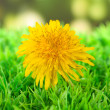 Dandelion flower on grass on bright background — Stock Photo