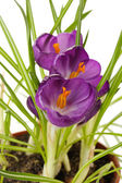 Beautiful purple crocuses in flowerpot, close up — Stock Photo