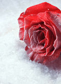 Red rose in ice on snow background — Stock Photo