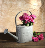 Bouquet of pink chrysanthemum in watering can on wooden table — Stok fotoğraf
